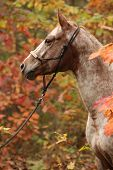 picture of appaloosa  - Portrait of nice appaloosa mare standing in autumn forest