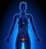 Reproductive System - Female Organs - Human Anatomy