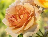 Spring Rose Blossom