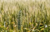 a corn field with barley ready for harvest. photo icon for agriculture and healthy eating.