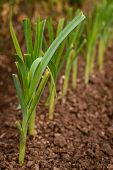 stock photo of leek  - Fresh green leek growing from the earth - JPG