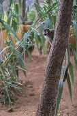 A Ring-tailed Lemur Sits  On A Tree  And Looks Around