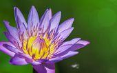 Lotus Flower Against Green Background