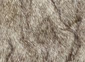 stock photo of coyote  - Faux fur fabric for the fashion industry used to artificially recreate animal pelts including reindeer and coyote. The use of a fake synthetic version not causing offence with animal rights activists.
