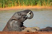 An African elephant (Loxodonta africana) playing in a waterhole, Addo Elephant National Park, South Africa
