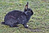 Dark wild rabbit