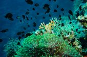 Clown fish with its young in the anemone site on a tropical coral reef