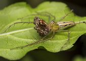 Lynx Spider Eating Jumping Spider, Wildlife