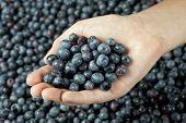 One Hand Full Of Fresh Blueberries