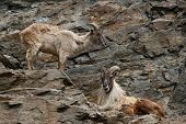 Male and female Himalayan tahr (Hemitragus jemlahicus).