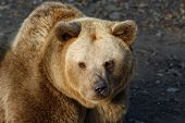 Brown bear (Ursus arctos).