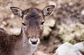 Roe Deer In An Enclosure / Roe Deer