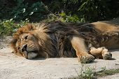 Asiatic lion (Panthera leo persica), also known as the Indian lion.