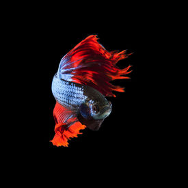 pic of fighter-fish  - red fin siamese fighting betta fish full body and beautiful fin tail isolated on black background - JPG