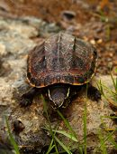 stock photo of terrapin turtle  - Malayan snail - JPG