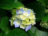 foto of hydrangea  - Hydrangea Hydrangea is a genus of 70 - JPG