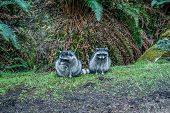 stock photo of raccoon  - Two raccoons sitting in Point Defiance State Park in Washington State - JPG