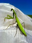 stock photo of glider  - Straight or mantis mantis (Mantis Religiosa), standing on a white glider