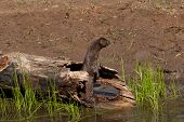 picture of mink  - American mink standing up inside a log along a riverbank - JPG