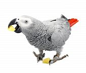 Jaco Parrot And Pieces Of Raw Potato