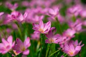 foto of lily  - Pink Zephyranthes Lily Rain Lily Fairy Lily Little Witches in the garden - JPG