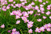 stock photo of lily  - Pink Zephyranthes Lily Rain Lily Fairy Lily Little Witches in the garden
