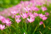 foto of lily  - Pink Zephyranthes Lily Rain Lily Fairy Lily Little Witches in the garden