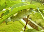 stock photo of green caterpillar  - a green caterpillar on a leaf in the garden - JPG
