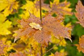 Постер, плакат: Golden and colorful maple leaves on a twig