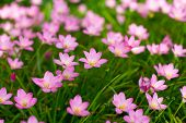 picture of lily  - Pink Zephyranthes Lily Rain Lily Fairy Lily Little Witches in the garden - JPG