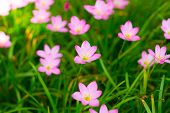 pic of lily  - Zephyranthes Lily or  Rain Lily or Fairy Lily or Little Witches in the garden - JPG