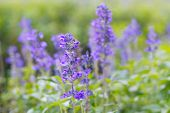 stock photo of blue-salvia  - Blue Salvia farinacea flowers blooming in the garden - JPG