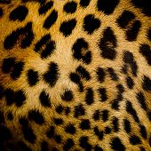 picture of leopard  - Closeup design of Leopard fur black dot on brown background - JPG