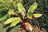 stock photo of banana tree  - Musa Basjoo - JPG