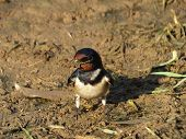 pic of swallow  - Swallow collecting nesting material in a muddy patch of earth - JPG