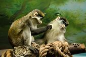 picture of she-male  - Monkey male and female scrub each other - JPG