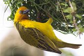 Cape Weaver Male Weaving Nest