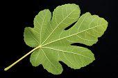 Fig Leaf On Black Bkgd