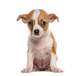 pic of saddening  - Sad Chihuahua puppy sitting in front of a white background - JPG