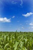 Midwest Corn