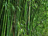 Bamboo Grove.