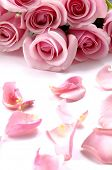 Valentines background-pink rose with petals