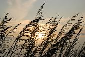 stock photo of sea oats  - Sea oats before sunset on a Florida beach - JPG