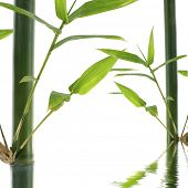 Bamboo Stock with green leaf