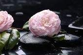pink camellia and zen stone with water drops