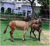Donkey Kissing