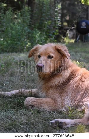 poster of Damp Fur On A Nova Scotia Duck Tolling Retriever Dog In Grass.