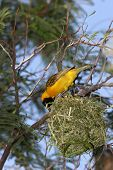 Yellow Bird Building His Nest poster
