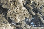 Pine Leaves Winter Background. Natural Background. Christmas Tree Background. Pine Leaves Winter Bac poster