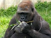 Gorilla Lunch